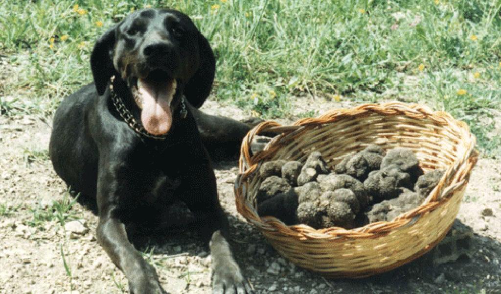 Il tabui, ovvero il cane da tartufo: il grande alleato del trifolao